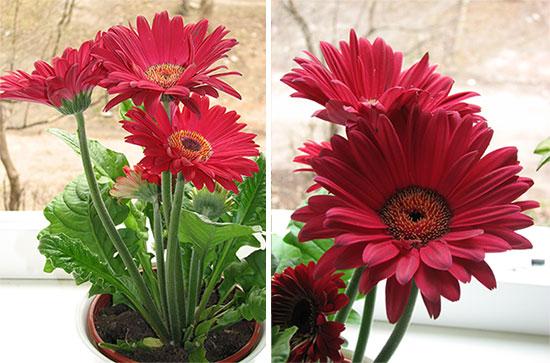 Домашняя гербера цветение