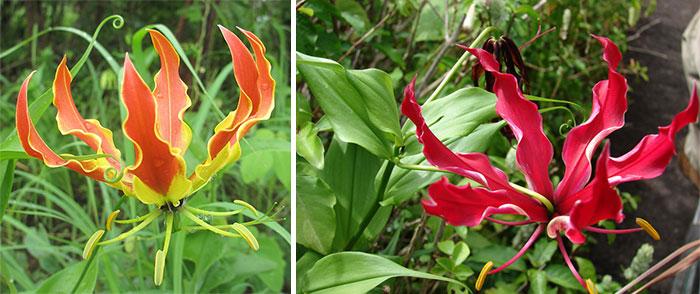 Цветы глориозы разных оттенков