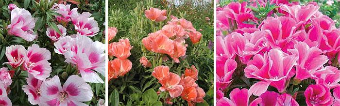 Сорта крупноцветковой годеции