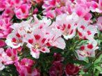 Цветок лобелия
