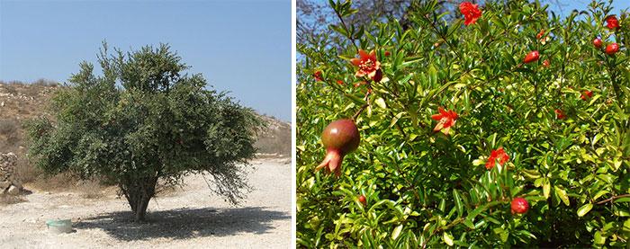 Гранатовое дерево в природе