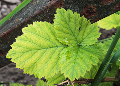 Хлороз листьев фото