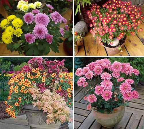 Формы домашних хризантем
