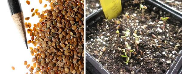 Семена и саженцы