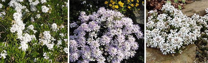 Иберис вечноцветущий, простой и скалистый