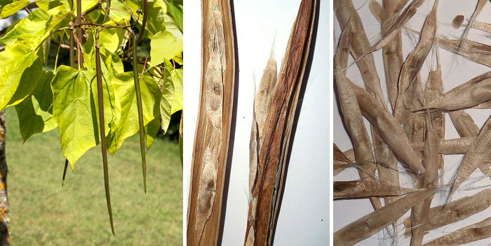 Семена катальпы