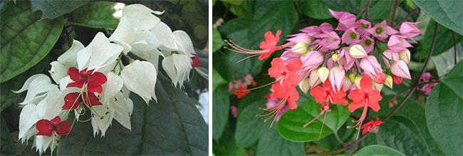 Цветение волкамерии