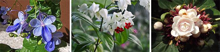Цветение различных видов клеродендрума