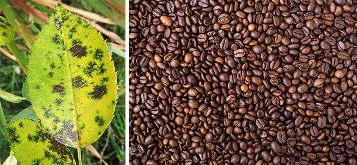 Кофе помогает от болезней растений