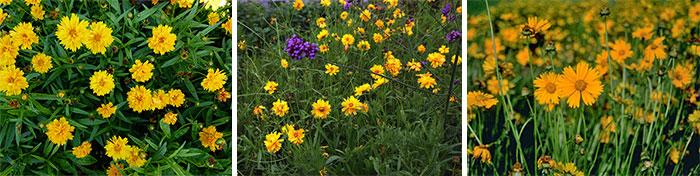Сорта крупноцветкового кореопсиса