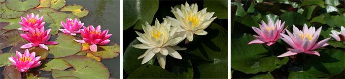 Сорта водяной лилии
