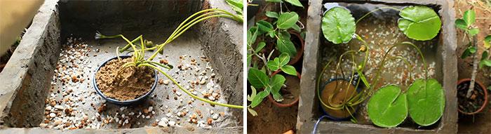 Выращивание кувшинки в горшке