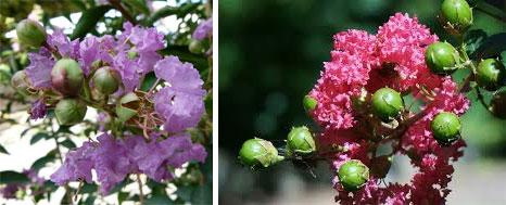 Цветы и почки лагерстремии