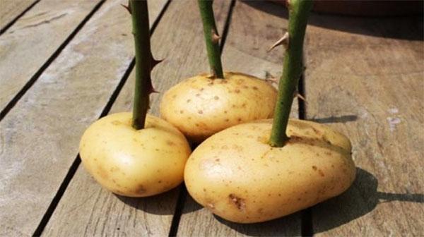 Черенки в клубне картофеля