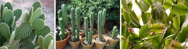 Колючки кактусов