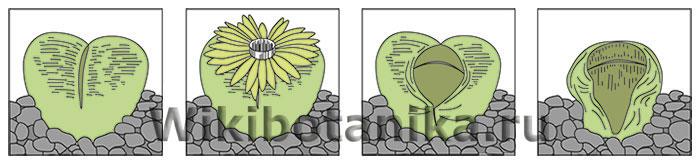 Годовой цикл литопса
