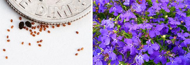 Семена и цветение