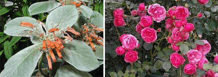 Мини-глоксиния и мини-роза