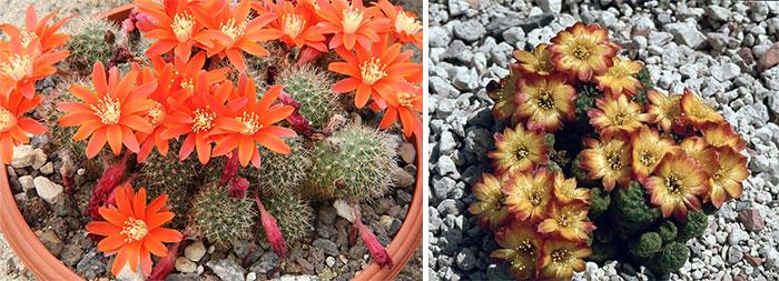 Карликовые кактусы ребуция и сулькоребуция