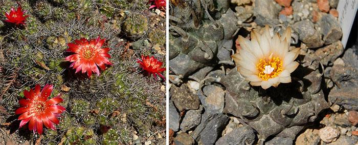 Карликовые кактусы эхинопсис и турбиникарпус