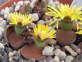 Самые миниатюрные домашние растения