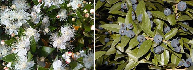 Цветы и ягоды миртового дерева