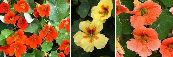 Настурция большая, красные желтые и оранжевые сорта
