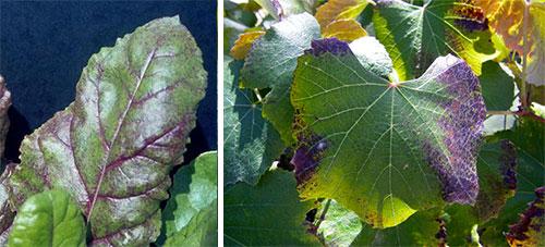 Недостаток фосфора у растений