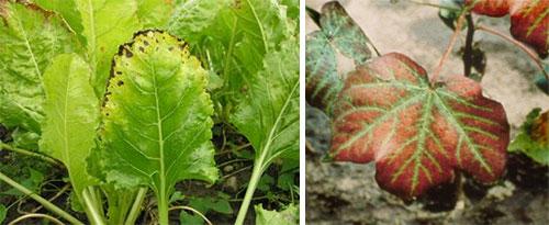 Недостаток магния у растений