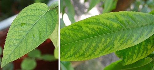 Недостаток марганца у растений