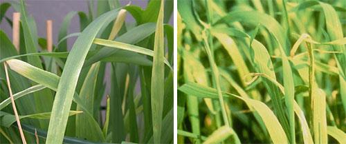 Недостаток меди у растений