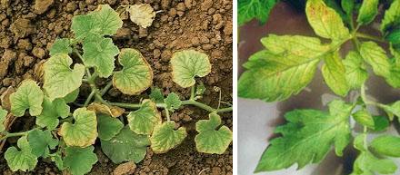 Недостаток молибдена у растений
