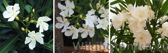 Белые сорта олеандра