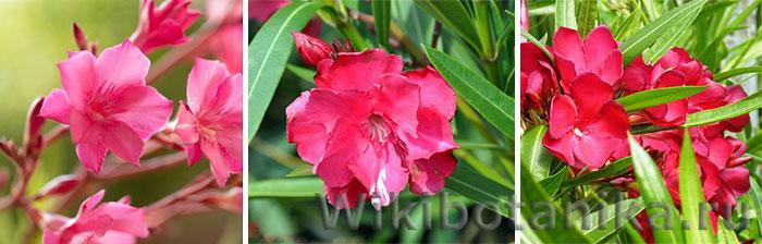 Ярко-розовые сорта олеандра