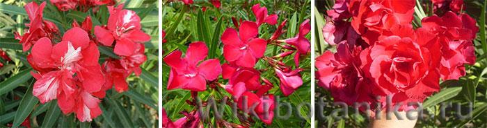 Красные сорта олеандра