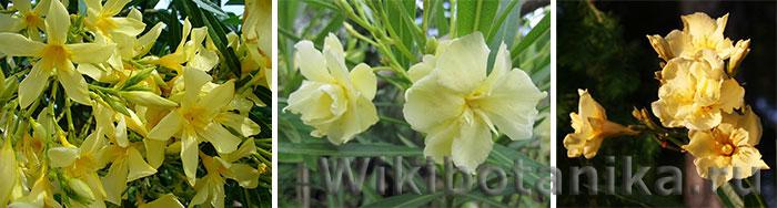 Желтые сорта олеандра