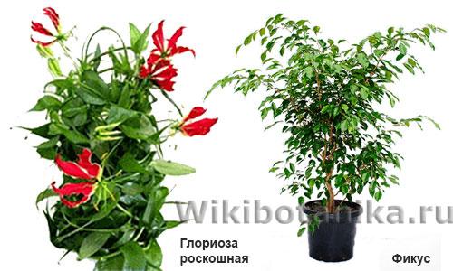 Опасные растения фикус и глориоза