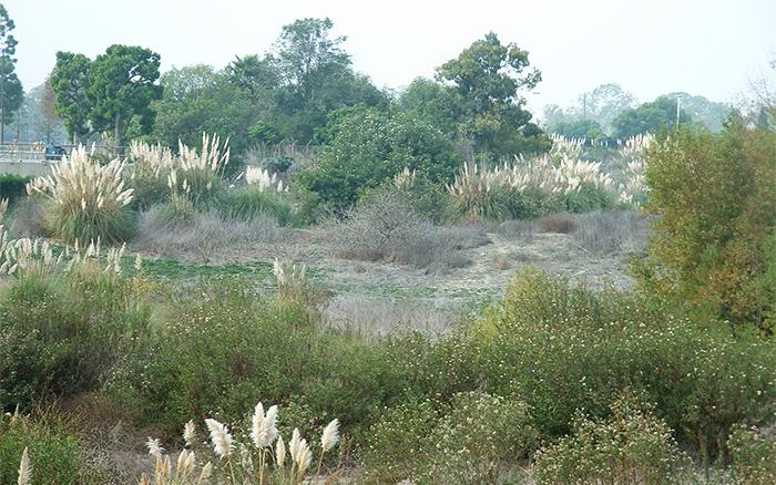 Как выглядит пампасная трава