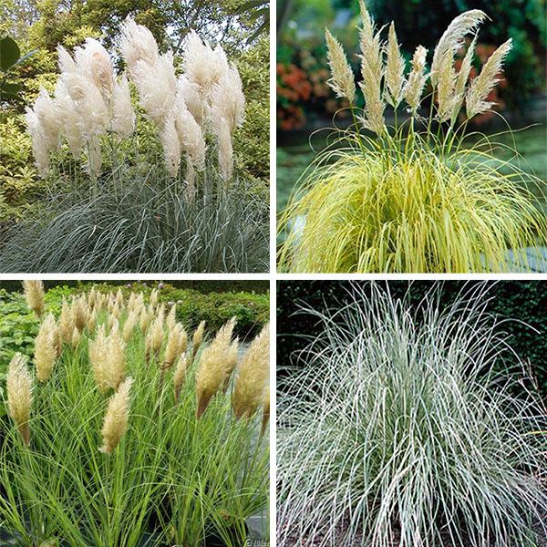 Белая пампасная трава