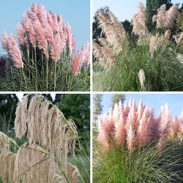 Розовая пампасная трава