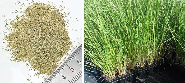Семена и рассада пампасной травы