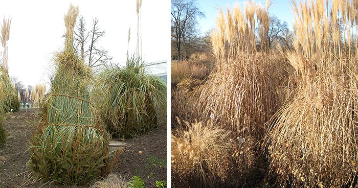Как зимует пампасная трава