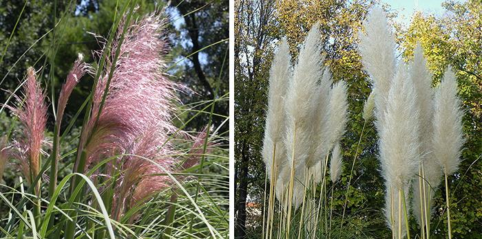 Цветение пампасной травы