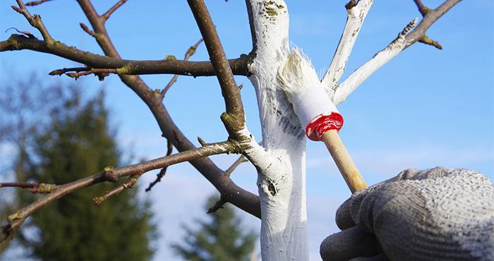 Зачем деревья белят