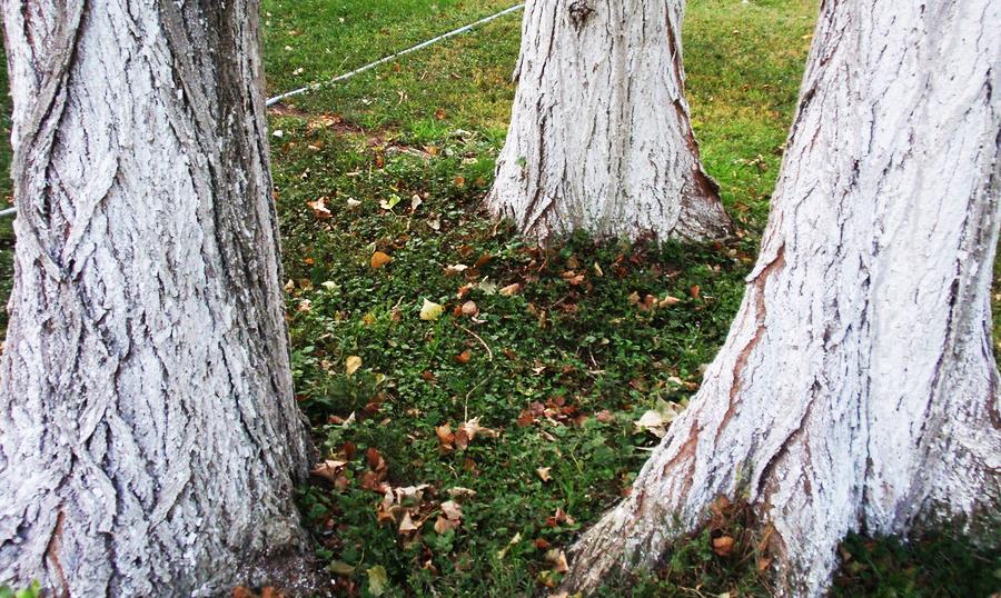 Побелка старых деревьев