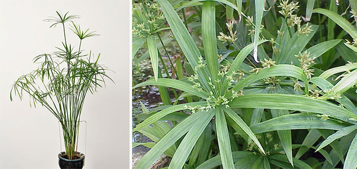 Болотное растение циперус