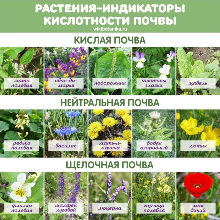 Растения-индикаторы кислотности почвы
