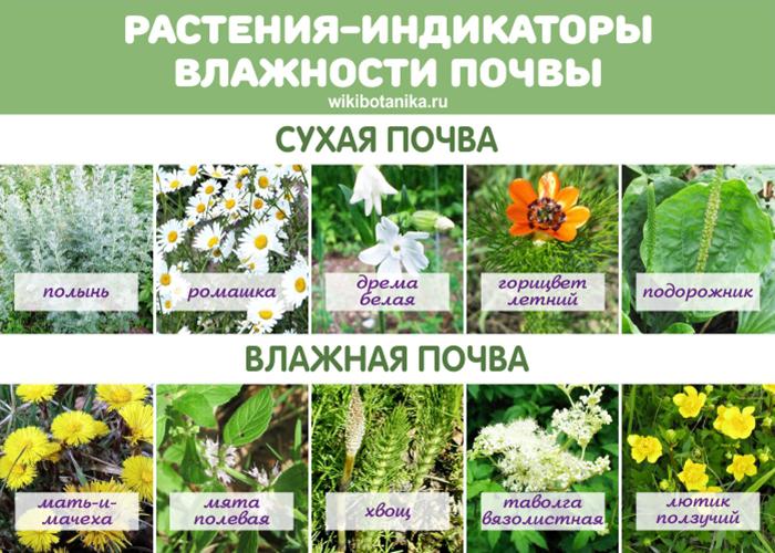 Растения-индикаторы влажности почвы