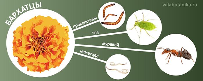 Бархатцы от проволочника, нематоды, тли, муравьев