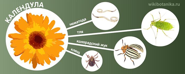 Календула от тли, колорадского жука, нематод, клещей